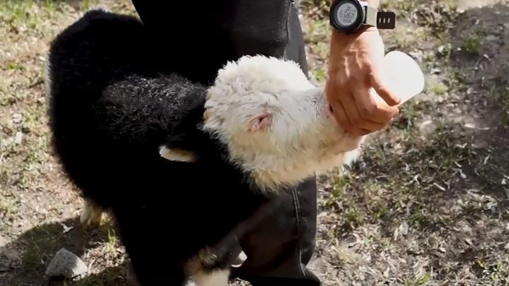 Пьёт по 6 литров молока в день: в зоопарке сняли ролик с кормлением новорожденного яка