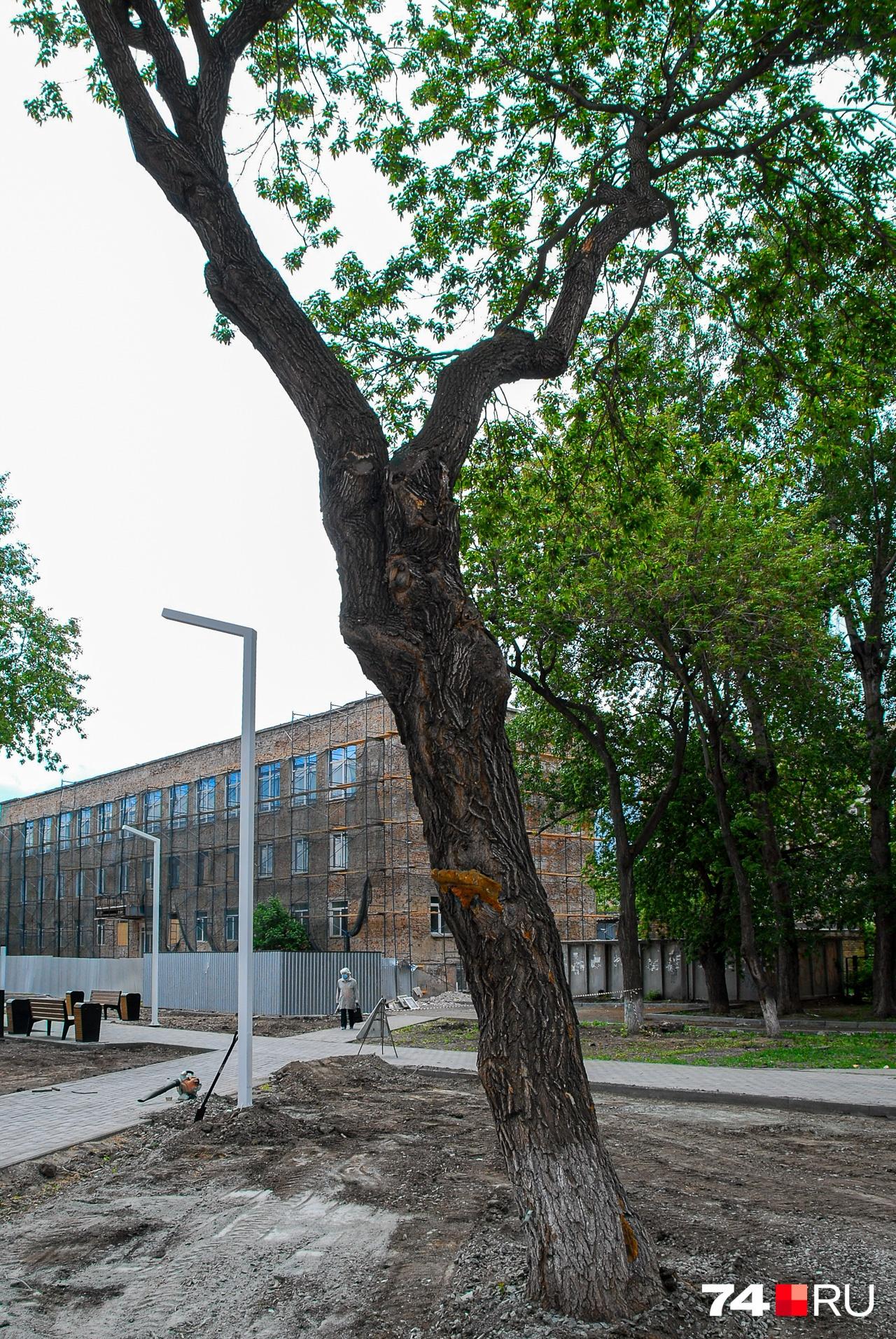 Карагач, или вяз приземистый — популярное в Челябинске дерево. Правда, специалисты по озеленению отзываются о нём не слишком высоко. Карагачи не очень красивы и часто ломаются