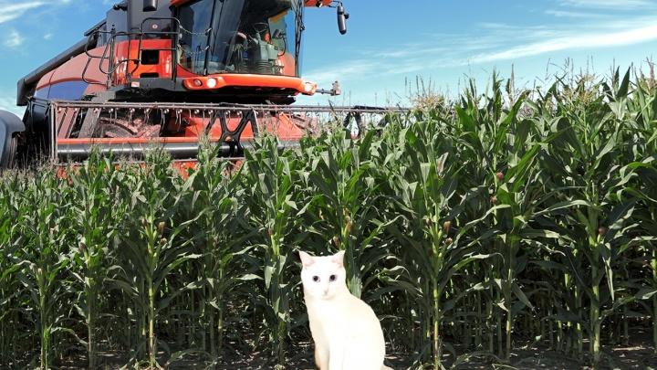 Сибирячка две недели искала пропавшую на кукурузном поле кошку — история невероятного спасения Няши