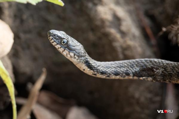 Змея укусила мужчину в руку