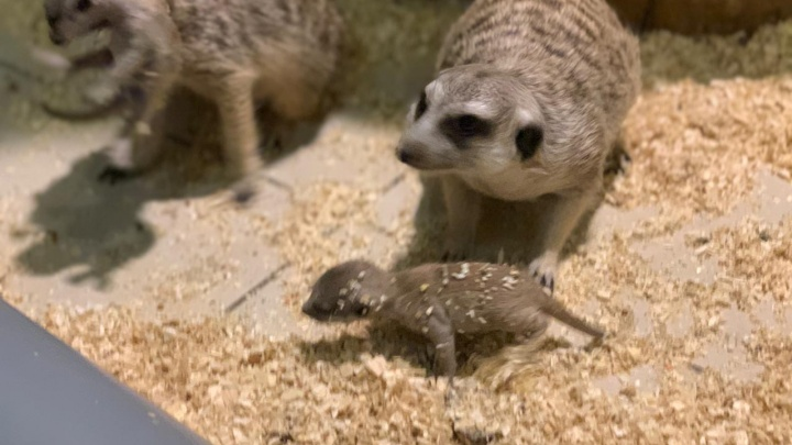Милота дня: в екатеринбургском контактном зоопарке родились сурикаты