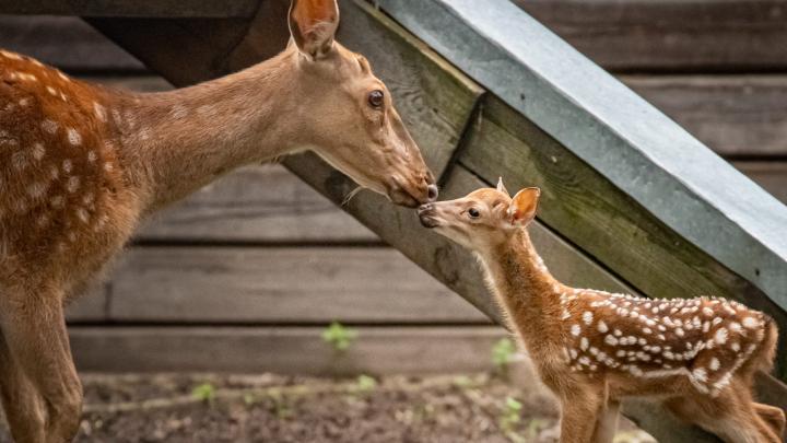 В зоопарке родились козлята и пятнистый оленёнок — разглядываем трогательные фото малышей