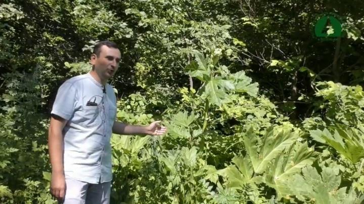 В уфимском парке выросло опасное для человека растение