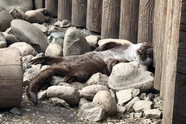 Без посетителей в челябинском зоопарке грустит выдра Ваня