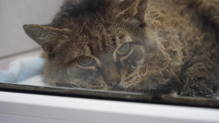 Пермские ветеринары ищут хозяина кота, которого прохожий принес в клинику после взрыва в доме