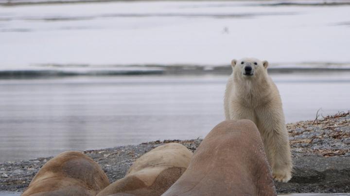 «Роснефть» вместе с учеными и экологами изучат состояние белого медведя, моржа, чайки и лесного оленя