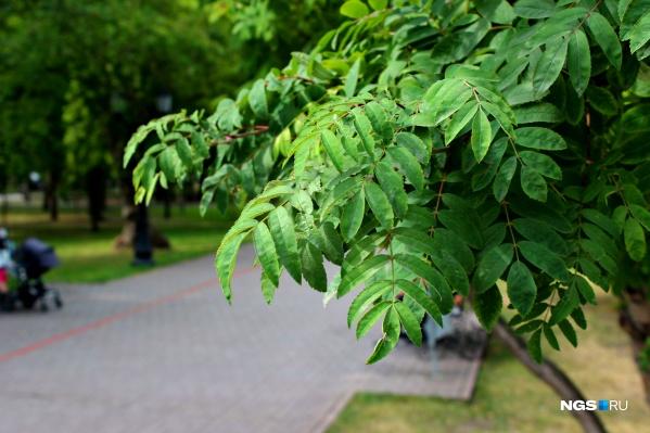 На рябине в парках практически нет ягод