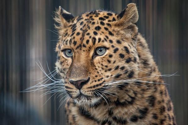 Природная популяция дальневосточных леопардов мала
