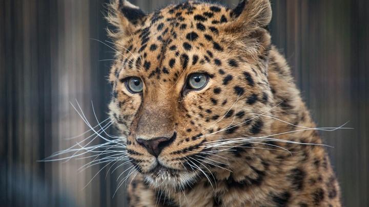 В Новосибирский зоопарк привезли дальневосточного леопарда по имени Дава