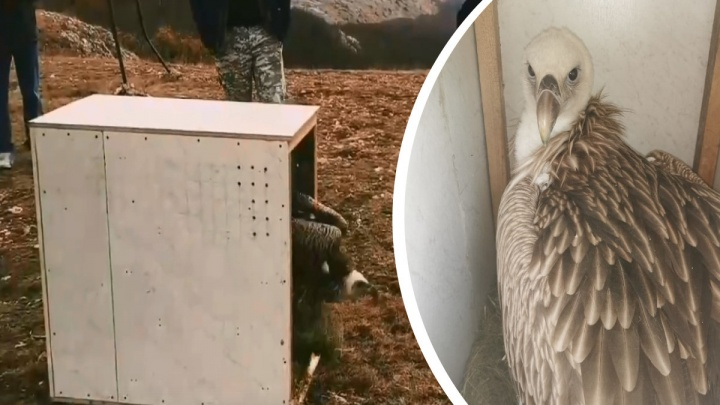 Пойманного под Архангельском грифа Арли выпустили в Крыму: волонтеры сняли этот момент на видео