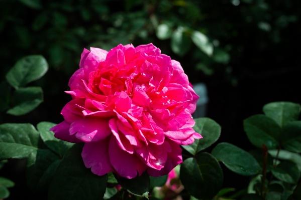 Розы Дэвида Остина созданы путем скрещивания старых английских роз с современными