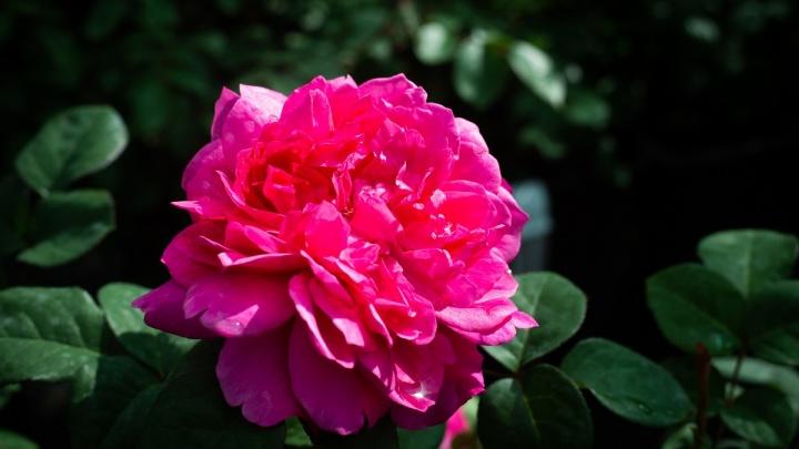 Создаём сад мечты: в Челябинске появились английские розы Дэвида Остина, покорившие сердца цветоводов