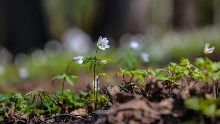 А парки в Уфе цветут и пахнут: любуемся подснежниками не выходя из дома