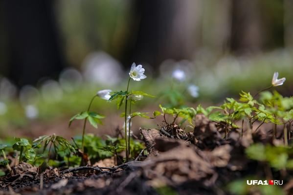 По-научному весенние первоцветы называют анемоны