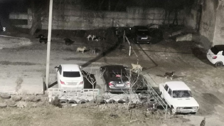 «Не дай Бог, накинутся на ребенка»: на севере Волгограда стая собак разорвала бездомную кошку