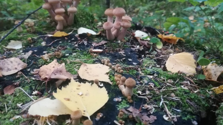 Держитесь, грибов будет очень много: куда ехать за опятами в окрестностях Екатеринбурга