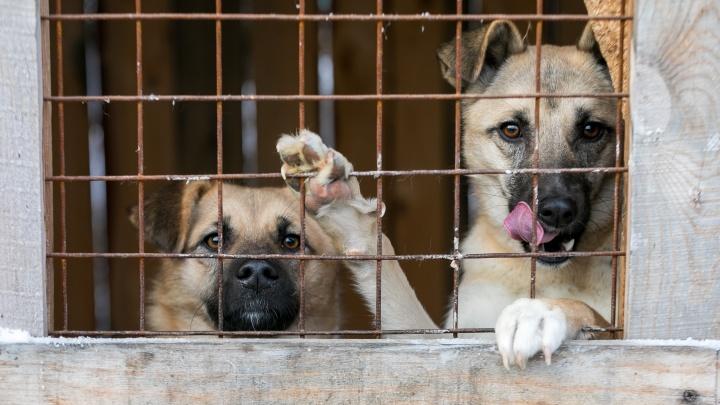 «Истощенные, все в язвах»: под Красноярском волонтеры нашли десятки собак в ничейном приюте