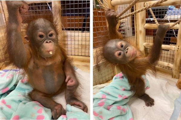 За шесть месяцев Джулия подросла, и в её рацион добавили фруктовое пюре и кусочки фруктов, так как у обезьянки появилось четыре зуба