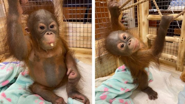 Малышке-орангутангу Джулии исполнилось полгода: в Новосибирском зоопарке показали её милые фото