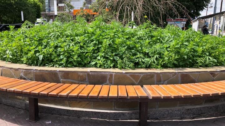 Озеленение по-тюменски: прохожие обнаружили в центре города клумбу с коноплей