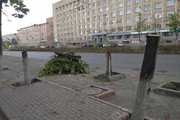 Спилы большинства уничтоженных деревьев выглядят здоровыми, но в мэрии утверждают, что растения были погибшими