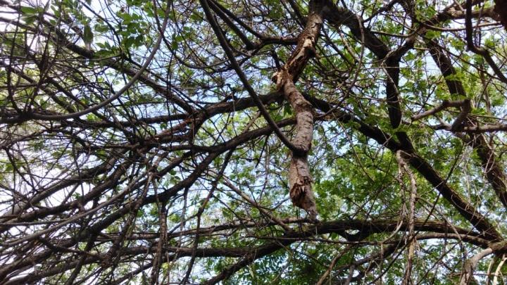 «Ждут, пока кого-нибудь убьет?»: в центре Волгограда пешеходам угрожает сломанное дерево