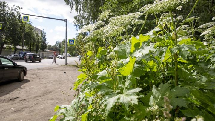 Площадь поражения увеличилась: власти рассказали о новом способе борьбы с борщевиком в Ярославле