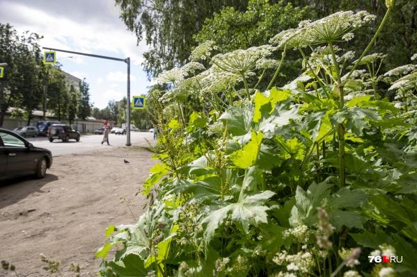 Площадь поражения борщевиком в Ярославле составляет около 14,4 гектара