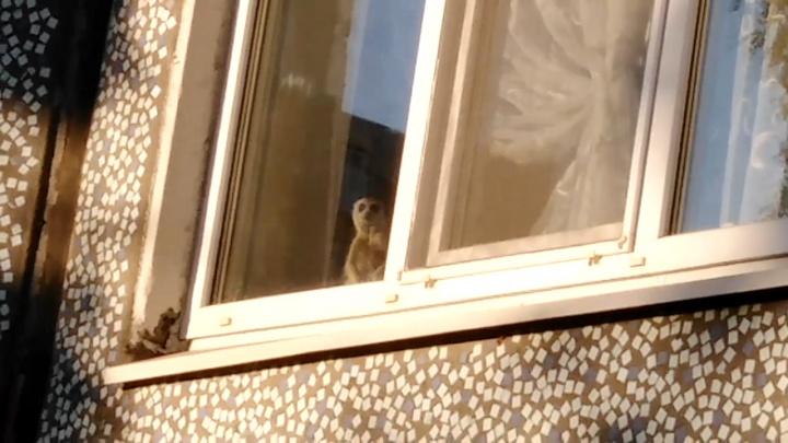Удивительное рядом: в квартире в Архангельске живет сурикат — видео