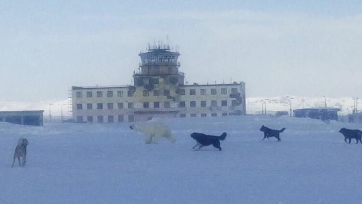 «Там такое — обычное дело»: в Сети обсуждают, что по Архангельской области бродят белые медведи