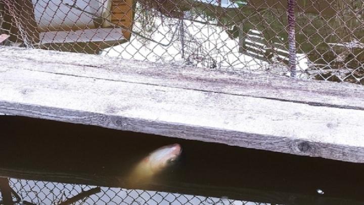 Пытаются дышать из последних сил: в пруду на Ангарском умирают огромные толстолобики