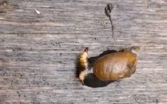 Архангелогородка нашла улитку-зомби с пульсирующими глазами — видео
