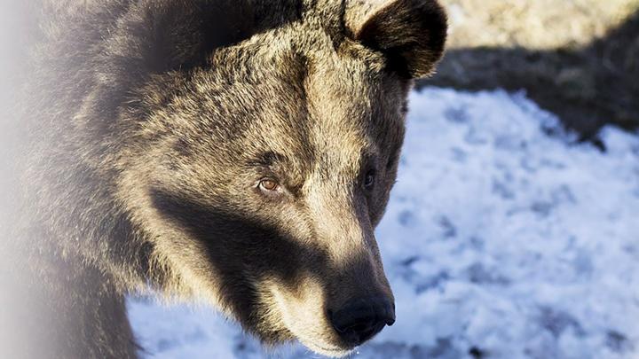 «Будьте настороже»: в Ярославской области проснувшийся медведь может прийти к людям