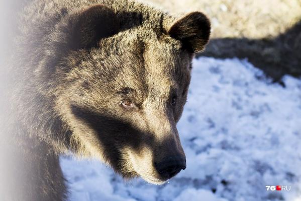 Местных жителей предупреждают: проснувшийся медведь — не маленький и милый медвежонок