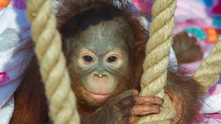 В Новосибирском зоопарке знакомят орангутанга Джулию с родителями