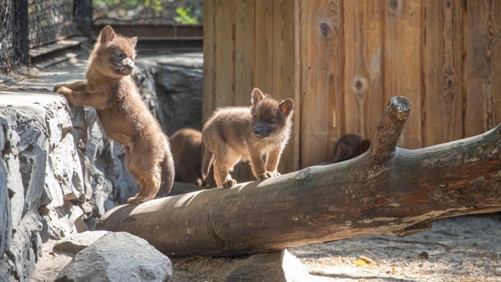 В Новосибирском зоопарке родились шесть красных волчат — публикуем милые снимки