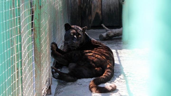 В Большереченском зоопарке построят вольеры с обзорными стеклами для леопардов