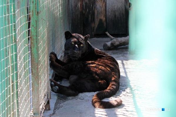Черный леопард Викинг самкам предпочитал еду