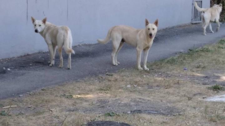 «Говорят, уже покусали учителя»: педагогов и учеников школы № 95 терроризирует стая бродячих собак