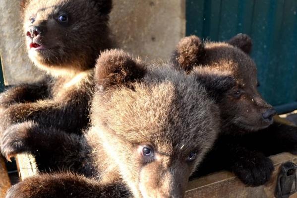 Медвежат назвали — Максимус, Минимус и Медея