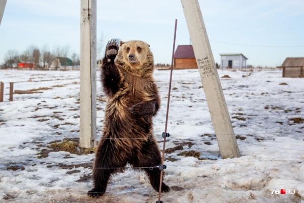 Все желающие могут посмотреть на жизнь ручного медведя на его YouTube-канале