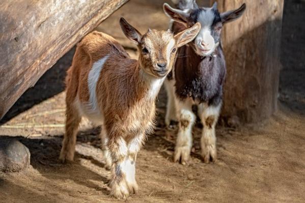 В зоопарке сейчас девять детенышей камерунских коз