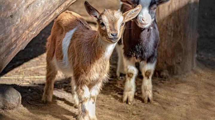 В зоопарке Новосибирска родились малыши — лосята, оленята и козлята. Вот их первые фото