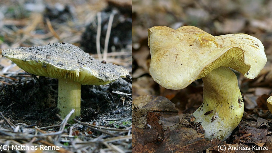 Посмотрите, какие кислотные грибы! Одинаковые? А вот и нет. Который из них — съедобная зеленушка?