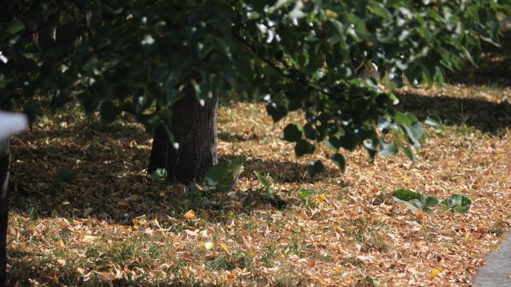 Здравствуй, осень? В Екатеринбурге деревья пожелтели и начали сбрасывать листву
