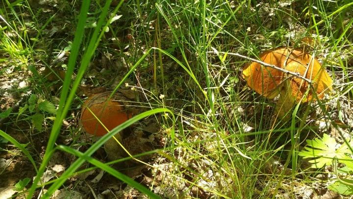 Даже опята есть: на Урале пошел второй слой грибов