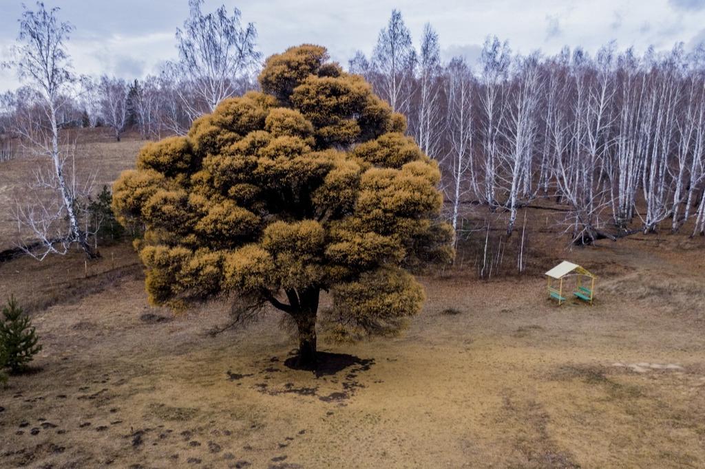 Может случиться так, что весной кудрявые лиственницы погибнут