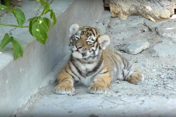Сейчас тигрятам полтора месяца