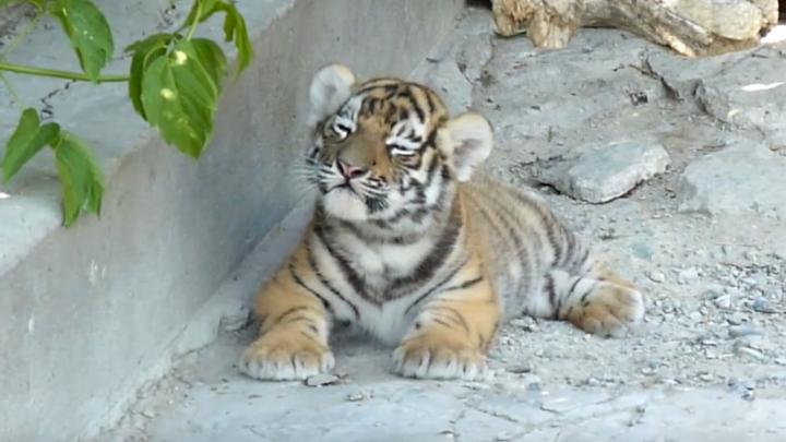 В Большереченском зоопарке встали на лапки новорожденные тигрята