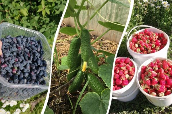 Дачники уже собирают плоды